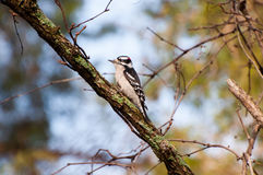 Downy woodpecker. A male downy woodpecker in a tree Stock Photography