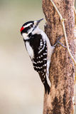 Downy Woodpecker (male). A downy woodpecked eating while hitched to this old pine tree Royalty Free Stock Photos