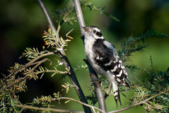 Downy Woodpecker in the Morning Royalty Free Stock Photo