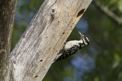 Downy Woodpecker at nest Royalty Free Stock Photos