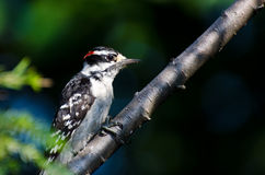 Downy Woodpecker Perched on a Branch Stock Photo