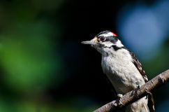 Downy Woodpecker Perched on a Branch Royalty Free Stock Photography