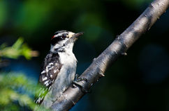Downy Woodpecker Perched on a Branch Stock Image