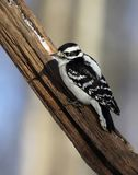 Downy woodpecker. Perched on dead tree limb with snow Stock Photos