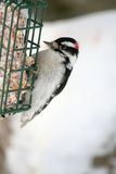 Downy Woodpecker Perched on Suet Feeder. A male Downy Woodpecker eating from a suet cake during winter in Littlefork, MN Stock Image