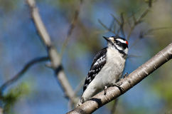 Downy Woodpecker Perched in a Tree Royalty Free Stock Images