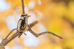Downy woodpecker perched on a tree branch with fall color leaves of orange, green, and yellow in the bokeh blurry background - tak. En in Minnesota royalty free stock photo