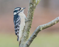 Downy Woodpecker Stock Photos