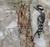 Downy woodpecker perched on a tree royalty free stock photos