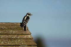 Downy Woodpecker perched on a wooded feeder. In Wisconsin wild and conservation area stock photos