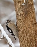 Downy Woodpecker, Picoides pubescens Royalty Free Stock Photo
