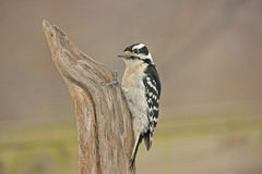 Downy Woodpecker (Picoides pubescens) Stock Images
