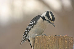Downy Woodpecker (Picoides pubescens) Stock Photography