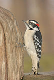 Downy Woodpecker (Picoides pubescens) Royalty Free Stock Photo