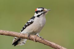 Downy Woodpecker (Picoides pubescens) Royalty Free Stock Image