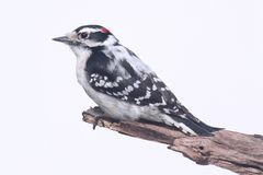 Downy Woodpecker Picoides pubescens Royalty Free Stock Images