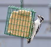 Downy Woodpecker. A downy woodpecker, Picoides pubescens, eating from a suet feeder Royalty Free Stock Photos
