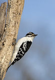 Downy Woodpecker (Picoides pubescens) Stock Photos