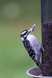 Downy Woodpecker - Picoides pubescens Stock Images