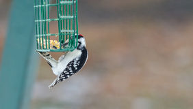Downy woodpecker - Picoides pubescens - hangs on a feeder cage and has a nibble to eat. Royalty Free Stock Images