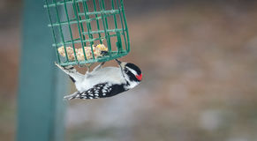 Downy woodpecker - Picoides pubescens - hangs on a feeder cage and has a nibble to eat. Stock Photo