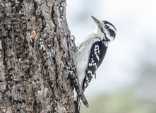 Downy woodpecker - Picoides pubescens hunting bugs on tree bark. Stock Photography