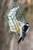 Downy Woodpecker - Picoides pubescens. A male Downy Woodpecker is perched on a suet feeder. Taylor Creek Park, Toronto, Ontario, Canada stock image