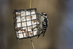 Downy Woodpecker (Picoides pubescens medianus). Male feeding from a wire frame suet feeder in winter Stock Image