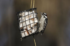 Downy Woodpecker (Picoides pubescens medianus). Male feeding from a wire frame suet feeder in winter Stock Photography