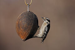 Downy Woodpecker (Picoides pubescens medianus). Female on a coconut bird feeder in the Ramble in New York's Central Park Stock Photography