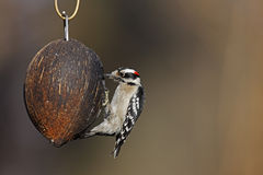 Downy Woodpecker (Picoides pubescens medianus). Female on a coconut bird feeder in the Ramble in New York's Central Park Royalty Free Stock Photography