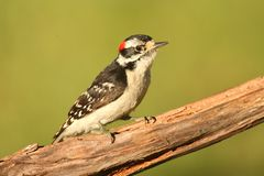Downy Woodpecker (Picoides pubescens) Royalty Free Stock Photos