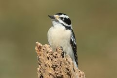 Downy Woodpecker (Picoides pubescens) Royalty Free Stock Images