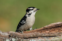 Downy Woodpecker (Picoides pubescens) Stock Image