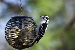 Downy Woodpecker bird at suet feeder, Athens, Georgia, USA. Downy Woodpecker, Picoides pubescens, at suet bird feeder in Athens, Georgia, USA royalty free stock image