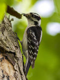 Downy Woodpecker. Picture of a Downy Woodpecker at Point Pelee Royalty Free Stock Images