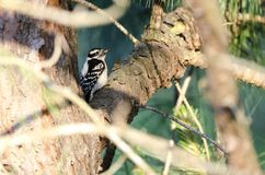 Downy Woodpecker in a pine tree, Athens Georgia USA. A small black, white and red Downy Woodpecker, Picoides pubescens, bird sitting in a pine tree. Photogaphed Stock Photos