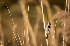 Downy Woodpecker on a reed. A cute Downy Woodpecker clings to a single Phragmite reed in a field of out of focus brown reeds. Downy Woodpecker Picoides Pubescens Stock Image