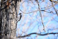 Red Headed Downy Woodpecker Stock Photo
