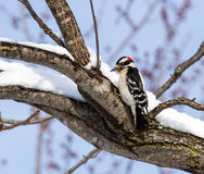 A Downy Woodpecker On A Snow Covered Limb Royalty Free Stock Photography