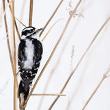 Downy Woodpecker in the Snow Stock Photo