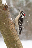 Downy Woodpecker in Snow. A male downy woodpecker hitched to an ash tree during a North Carolina snow fall Royalty Free Stock Photography