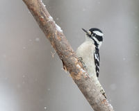 Downy woodpecker in snow stock images