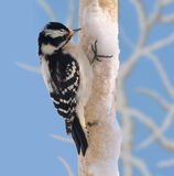 Downy Woodpecker On Snowy Birch Royalty Free Stock Photo
