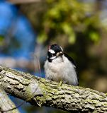 Downy Woodpecker. This is a Spring picture of a Downy Woodpecker perched on a branch in the Montrose Point Bird Sanctuary on Lake Michigan located in Chicago stock photography