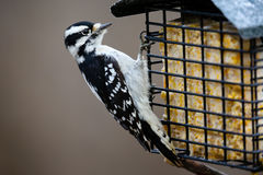 Downy Woodpecker with Suet. Close-up of a Downy woodpecker eating at a suet feeder Stock Photos