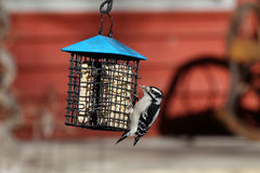 Downy woodpecker at a suet feeder. One Downy woodpecker at a suet feeder Royalty Free Stock Photography