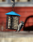 Downy woodpecker at a suet feeder. One Downy woodpecker at a suet feeder Royalty Free Stock Images