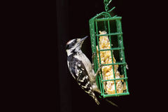 Downy Woodpecker on a suet feeder Royalty Free Stock Image