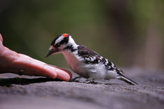 Downy Woodpecker taking peanuts from birdwatcher. Downy Woodpecker (Picoides pubescens medianus), male taking peanuts from the hand of a birdwatcher Royalty Free Stock Image